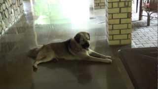 Indian Himalayas Dog Called Gaddi