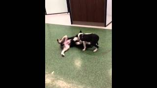 Boston Terrier & Border Collie