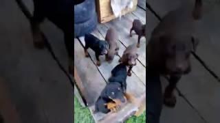 Собака Доберман с хозяйкой и с родными