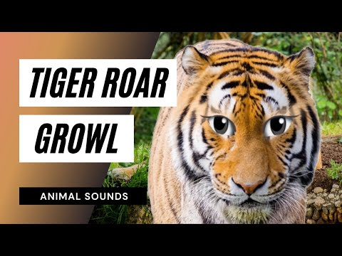 The Animal Sounds: Tiger Roar, Growl - Sound Effect ...
