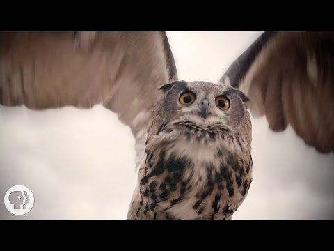 What Makes Owls So Quiet and So Deadly? | Deep Look