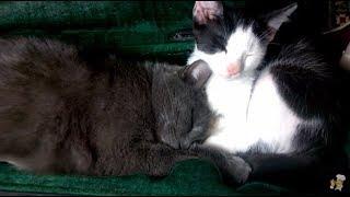 Кошачий сон под звуки скрипки.