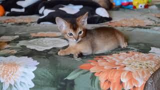 Абиссинские котята играют. Litter H. Питомник Fidget Tail