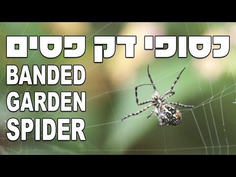 כסופי דק פסים, נקבה טווה קורים Banded Garden Spider (Argiope trifasciata)