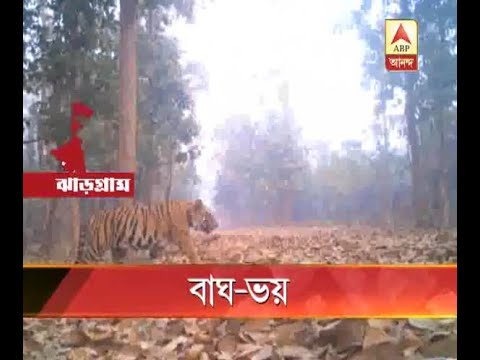 tiger fear at west midnapur