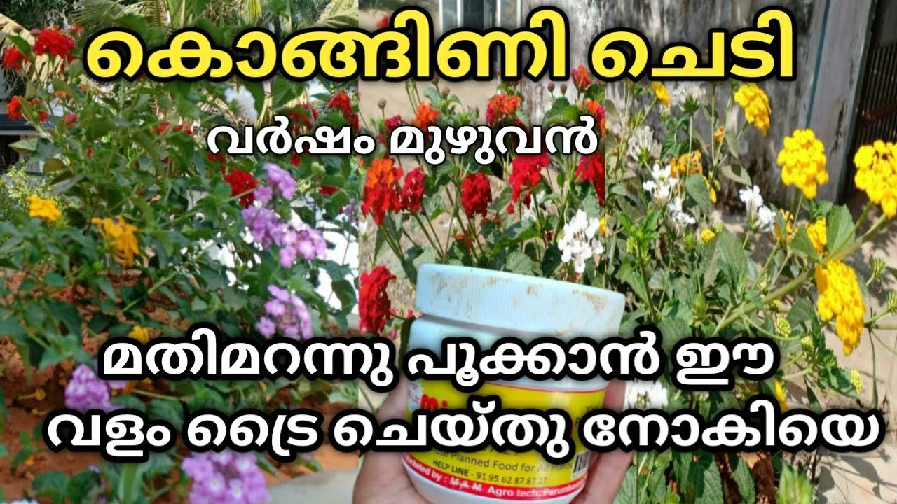 Download Magic fertilizer for lantana plant/അരിപ്പൂവ് ഇലകാണാതെ പൂക്കാൻ/lantana plant care malayalam/gardening