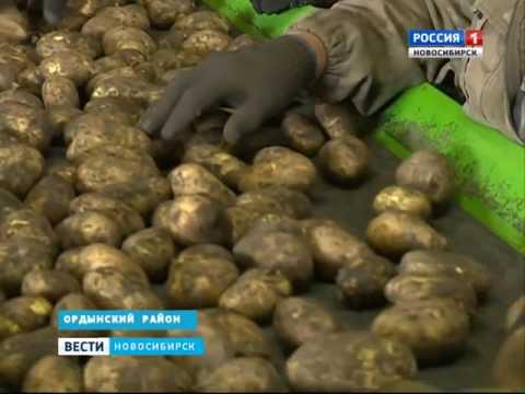 Небывалый урожай картофеля собрали фермеры в Новос