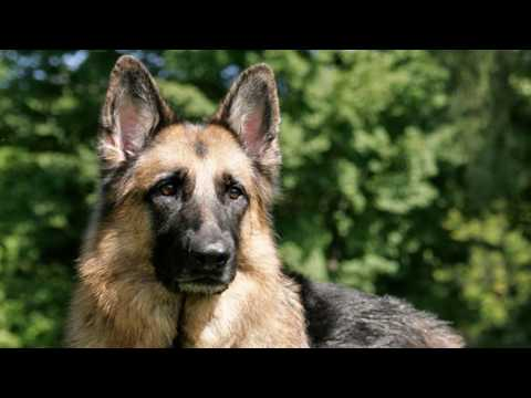 German Shepherd Dog video with real and rear information | Trusted and rear dogs information