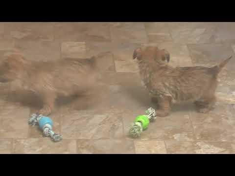 Wayne Weaver's Cairn Terrier Puppies
