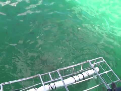 Sharks at Hans Bay