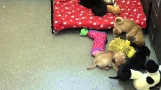 Little Rascals Uk breeders New litter of Jug Babies (Pug x Jack Russel)