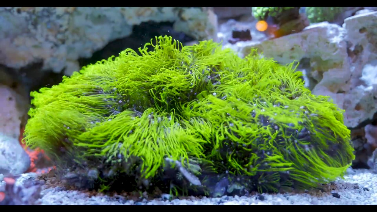 Green Star Polyp Coral in 4kGreen Star Polyp Coral in 4k   YouTube. Green Star Polyp Lighting Requirements. Home Design Ideas