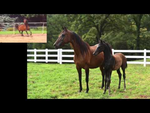 READ MY MIND SMP -  ARABIAN MARE FOR SALE