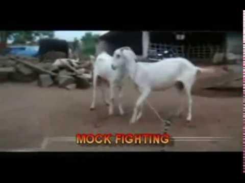 goat-mating-behaviour