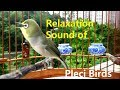 Relaxation Sound Of Pleci Birds  Mp3 - Mp4 Download