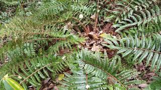양치식물 관중 호랑고비 구충제 살충제로 사용 독성있음 …
