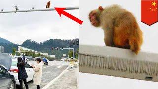 Wanita mengira bokong monyet adalah lampu merah! - TomoNews