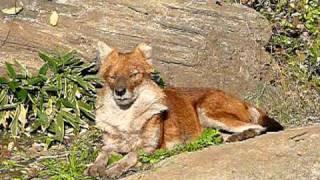 ドール(アカオオカミ)。Dhole(Red dog). 上野動物園。 ーネットのしじ...