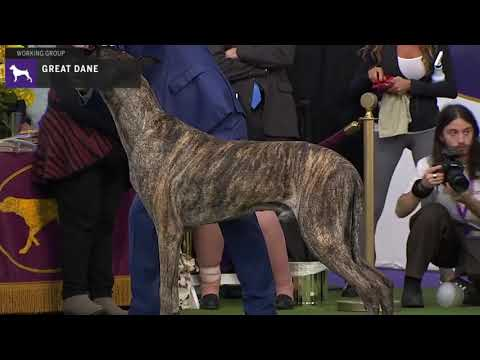 Great Danes | Breed Judging 2020