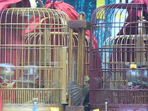chim mi chien tp tuyen quang 1-6-2013 p1