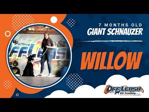 willow-|-giant-schnauzer-|-nova-dog-trainers-|-off-leash-obedience