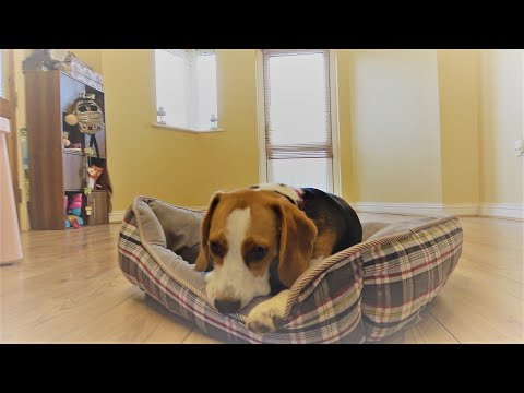 Puppy Lilly Prepares Bed to Sleep in a Hilarious Way