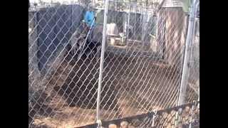 Zero, White Poodle, Working Goats 3feb13