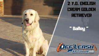 English Cream Golden Retriever/Dog Training
