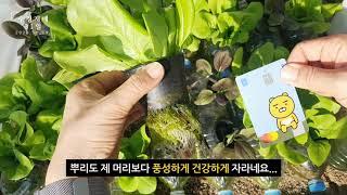 슬기로운 실습노작 생활6, 수경재배 파종 31일 차