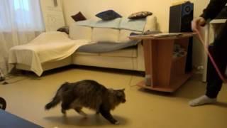 Прыгливая кошка