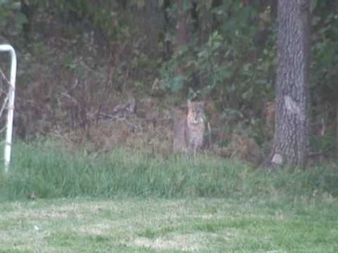 Big Cats In Our Backyard Oct 2007 Edmond Oklahoma - YouTube