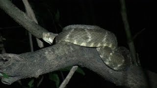 Night Creatures of the Amazon Jungle-With Deadliest Snake in Amazon!