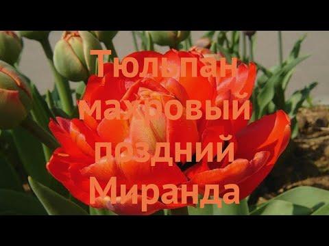 Тюльпан махровый Миранда (tulipa tyulpan) 🌿 Миранда обзор: как сажать, луковицы тюльпаны Миранда