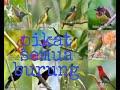 Ampuh Suara Pikat Untuk Semua Burung Kecil  Mp3 - Mp4 Download