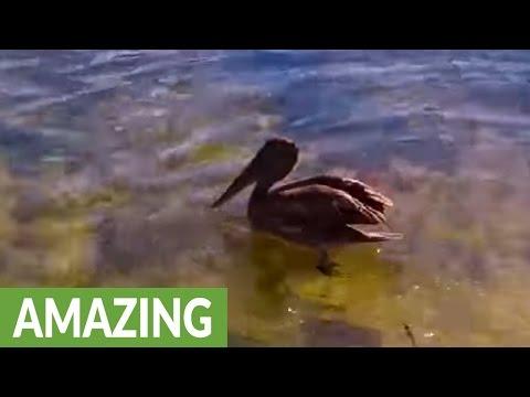 Baby pelican scoops up fish