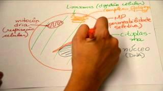 Célula animal e suas organelas