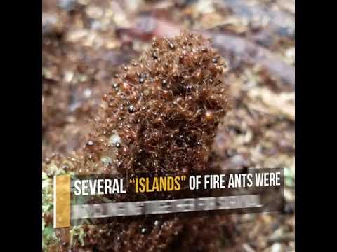 TipHero Fire Ants Colonies
