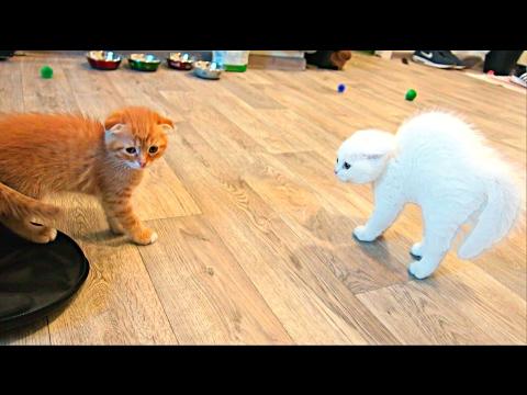 Шотландская вислоухая кошка (Скоттиш-фолд): фото, цена