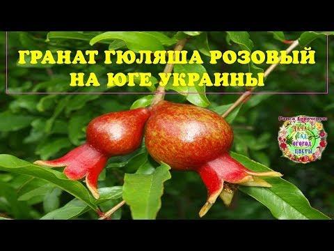 Вопрос: Как вырастить гранат Гюлоша Розовая в открытом грунте на юге Украины?