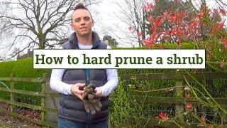 Hard pruning shrubs & plants
