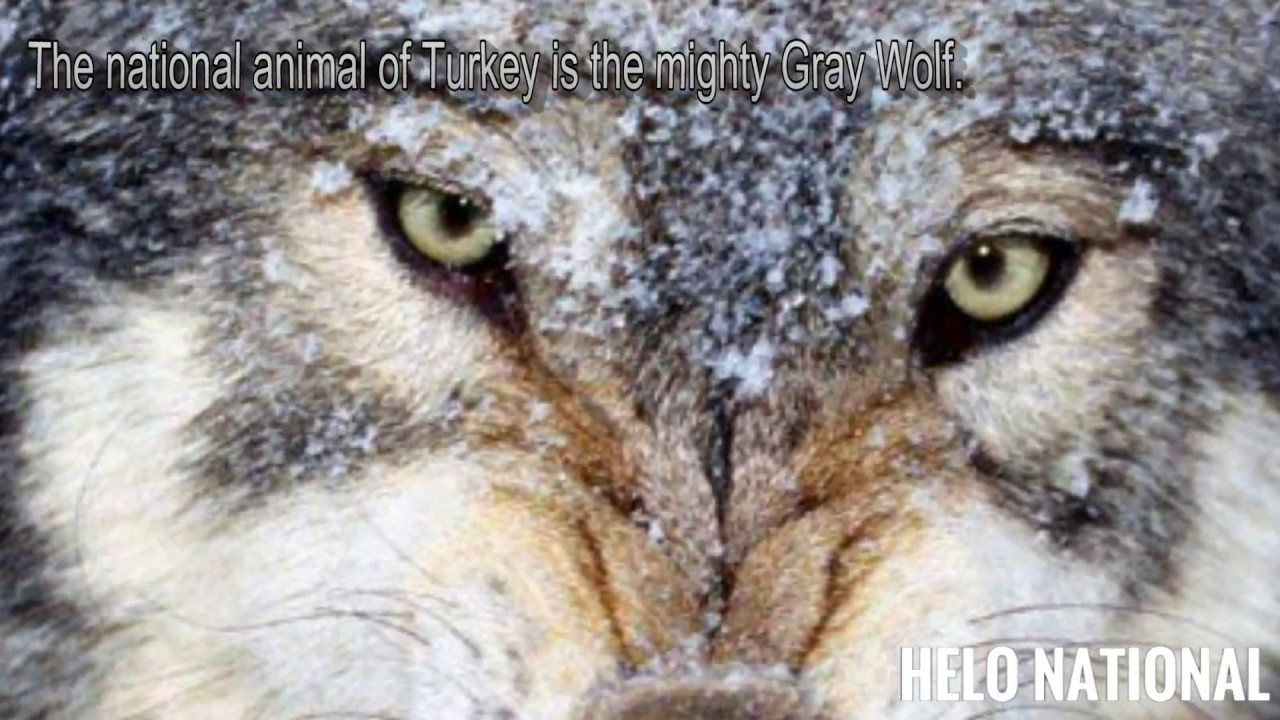 Gray wolf the national animal of turkey youtube gray wolf the national animal of turkey biocorpaavc