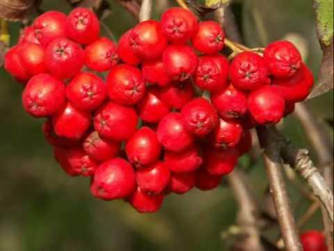 Jarzebina czerwona
