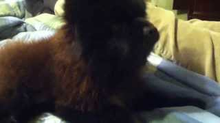 Ben The Pomeranian Howling When We Call Our Other Dogs Names