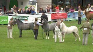 Merlod Mynydd Cymreig Ebol 3 | Welsh Mountain Ponies Colt 3