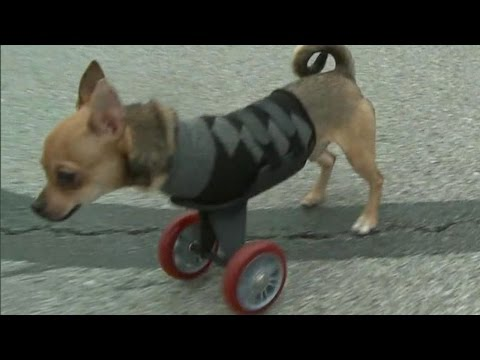 Chihuahua Born With No Front Legs Gets Scooter