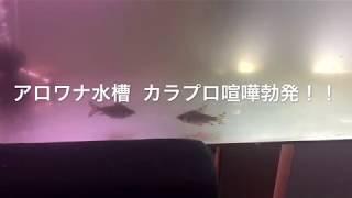 アロワナ水槽  カラプロ喧嘩勃発!! thumbnail