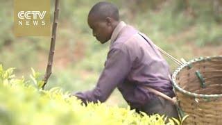 Chinese companies helping Kenya's tea manufacturers