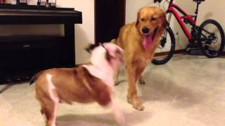 Golden Retriever Bullied By English Bulldog!