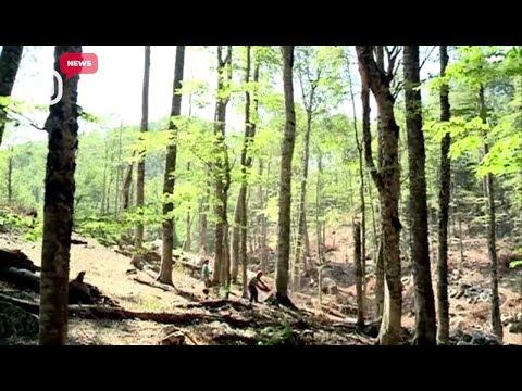 Zhdukja e pyjeve. Në Shqipëri, në 6 vite kemi 35% më pak pyje