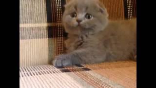Шотландский вислоухий котёнок голубого окраса